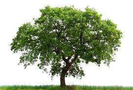 plant a bigass tree and it grow possibly an oak tree go