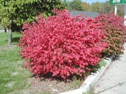 shrubs fall color