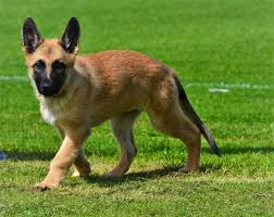 belgian shepherd health problems 4 month old how big should he be german shepherd dog forums