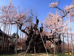 cherry blossom tree a 2000 year old cherry blossom tree in japan pics