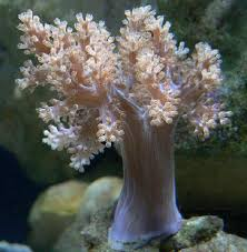 soft coral kenya tree nephthya capnella live coral frags
