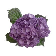 Purple Hydrangea Hydrangeas U2013 Legacy