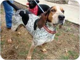 bluetick coonhound rescue georgia colonel adopted dog 9931925 dahlonega ga bluetick coonhound