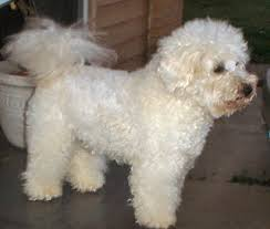 bichon frise puppy cut animals that give pause home grooming a bichon frise