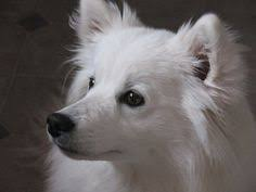 american eskimo dog vector american eskimo dog colorful furry children pinterest d