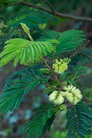 native plants western australia gyrostemon racemiger 4 western flora western australia 110924 jpg