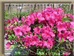 Pink Spring Flowering Shrubs - shrubs
