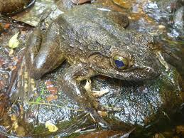 protecting goliath the world u0027s largest frog global wildlife