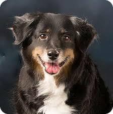 australian shepherd adoption blair mini aussie adopted dog tmar 012 mckinney tx