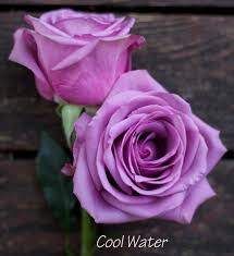 lavender roses cool water a lavender by harvest wholesale http www