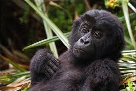 Gorilla by Eastern Lowland Gorilla Wikipedia