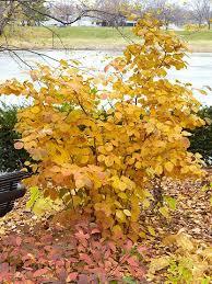 Flowering Shrubs For Partial Sun - 37 best fall shrubs u0026 bushes images on pinterest garden shrubs