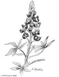 19 best wildflowers images on pinterest texas bluebonnets