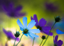 purple and blue flowers wallpaper cosmos flowers blue purple flowers 327