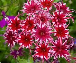 phlox flower phlox twinkle phlox drummondii cuspidata flower seeds 100