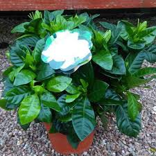 gardenia u2013 how to care for and grow these beautiful plants