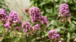 Flowering Shrubs That Like Full Sun - power perennials plants that thrive no matter what