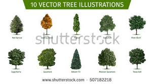 cottonwood tree stock images royalty free images u0026 vectors