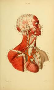 Human Anatomy Atlas 146 Best Human Anatomy Images On Pinterest Human Anatomy The O
