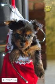 affenpinscher for sale ohio yorkshire terrier puppies for sale yorkie puppies for sale in