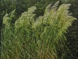 ornamental grass for northern ky showplace garden center