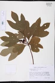 native plants of south carolina sassafras albidum species page isb atlas of florida plants