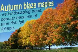 autumn blaze maple facts