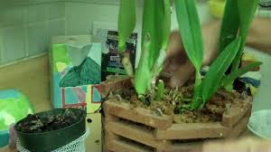 Orchid Plant How To Plant An Orchid Youtube