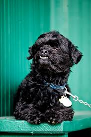affenpinscher swimming dogs archives page 3 of 5 colorado pet dog and cat portraits