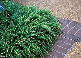 invasive ornamental grasses hgtv