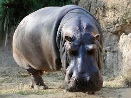 Hippo Memes - create meme begimot begimot hippo hippo pictures meme