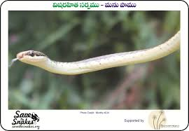 Madagascar Blind Snake Snakes Of The Eastern Ghats Save The Snakes