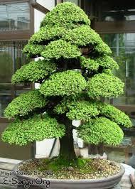 88 best japanese garden plants images on bonsai trees