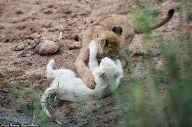 photos newborn white lions wild rare