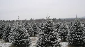 new hampshire features dozens of christmas tree farms