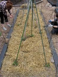 ginkgo organic gardens pole beans