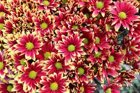 Fresh Cut Flowers Chrysanthemum Fresh Cut Flower Buy Price Chrysanthemum Cut