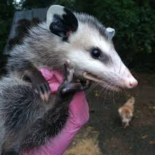 baby possum tried to ride out a nasty storm last night with my