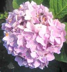 hydrangea flowers hydrangea the flower expert flowers encyclopedia