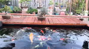 my 3000 gallon koi pond and bonsai youtube