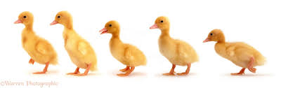 yellow ducklings photo wp05042