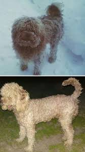 poodles long hair in winter dogs before and after their haircuts