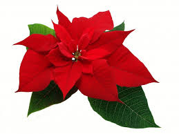 the traditional christmas flower the poinsettia u2014 how much do you