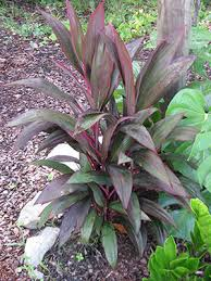 ti plant plant id flowers and indoor plants ti plant florida master