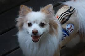 american eskimo dog small dolce modern dog magazine