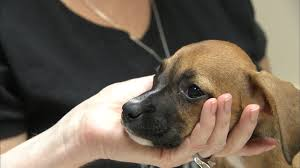 rescue a boxer dog rescued boxer puppies up for adoption at angels among us pet