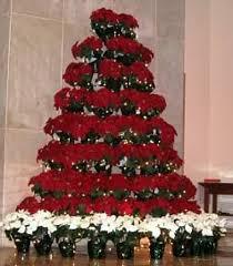 poinsettia tree grow a live poinsettia tree euphorbia pulcherrima is a