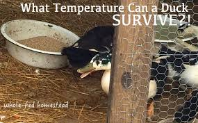 what temperature can a duck survive whole fed homestead