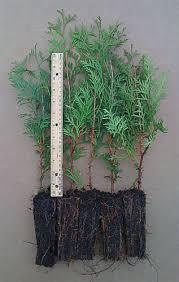 white cedar trees for sale thuja occidentalis a k a american