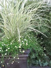 127 best soft grasses images on ornamental grass
